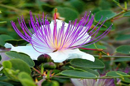 گیاه کبر چیست و چه فوایدی دارد؟