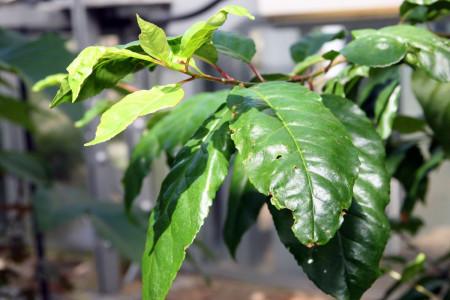 گیاه پرونوس افریکانا چیست + فواید درمانی این گیاه