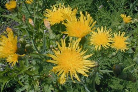 13 خواص بی نظیر گیاه شیرتیغک ( چق چقه ) از دیدگاه طب سنتی