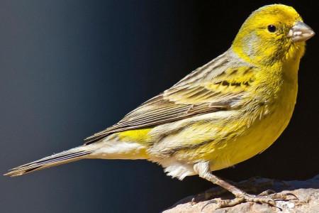 نحوه صحیح تشخیص سن قناری و حلقه گذاری در پرندگان به چه معناست؟