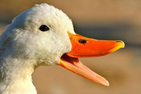 دانلود 4 صدای اردک نر و ماده