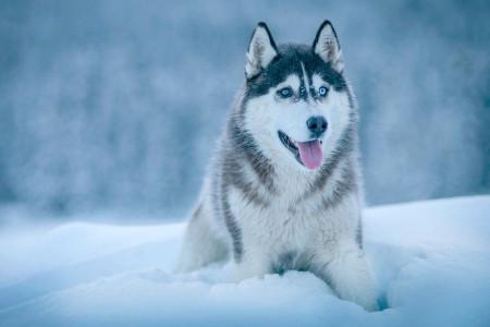 معرفی کامل سگ نژاد هاسکی سیبرین (Siberian Husky)
