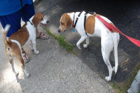 آشنایی با سگ شکارچی آمریکن انگلیش کونهوند