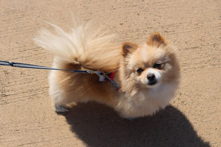 نحوه اصلاح صحیح و نظافت موی سگ نژاد پامرانین