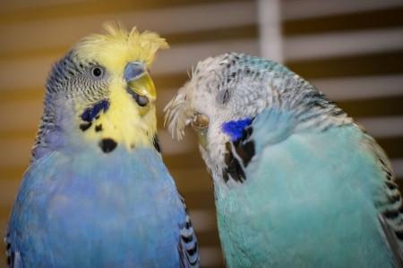 آشنایی با بیماری مرغ عشق ها و داروی های تقویتی و درمانی آنها