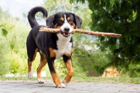 سگ نژاد اپنزلر سنن هوند مناسب برای نگهبانی و گله