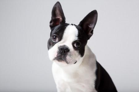 آشنایی با سگ آپارتمانی بی صدا به نام بوستون تریر