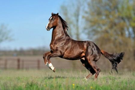 معرفی اسب مسابقه ای نژاد تروبرد (Thoroughbred)