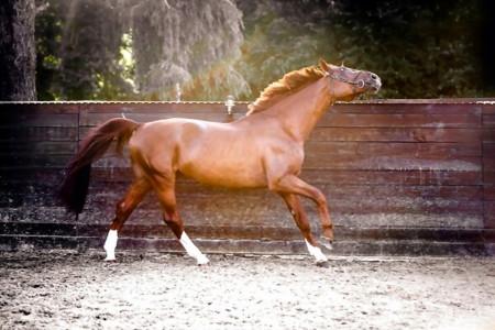 16 بیماری شایع دستگاه حرکتی اسب + شیوه درمانی آن