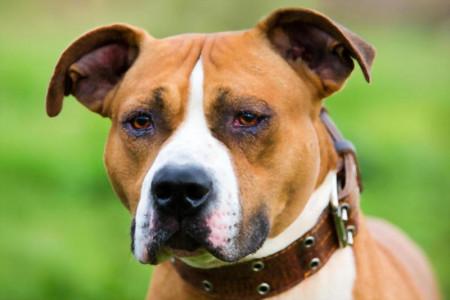 معرفی کامل سگ نژاد استافورد شایر بول تریر