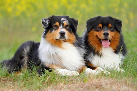 آشنای با سگ گله نژاد استرالین شپرد