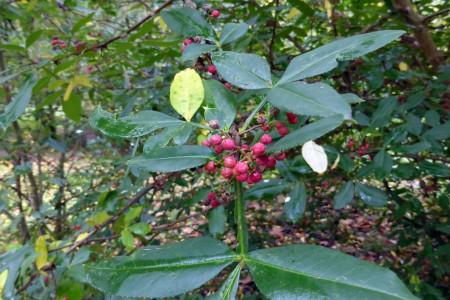 گیاه فاخره : بیش از 20 خاصیت دارویی درمانی فاخره برای سلامت بدن