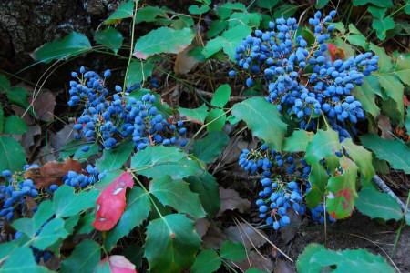 گیاه انگور اورگن : خواص درمانی و کاربردهای انگور اورگن