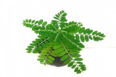 خواص گیاه فیلانتوس نیروری چیست ؟