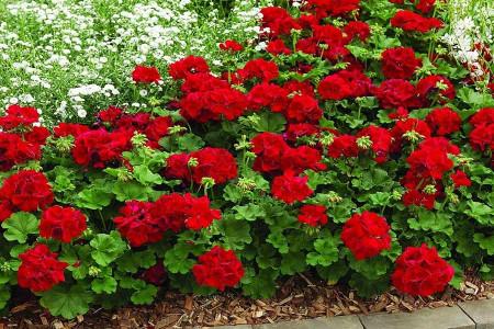 تکثیر، پرورش و قلمه زدن گل شمعدانی