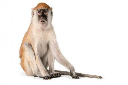 تعبیر خواب میمون : 50 نشانه و تعبیر دیدن میمون ( بوزینه ) در خواب