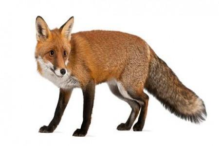 تعبیر خواب روباه : 33 نشانه و تعبیر دیدن روباه در خواب