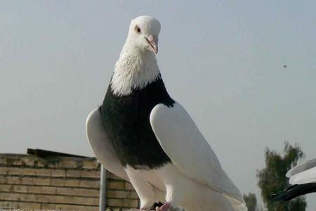 گوشت کبوتر به جای گوشت مرغ