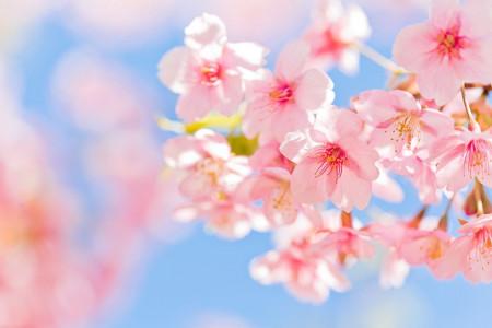 50 عکس شکوفه گیلاس بهاری با کیفیت بسیار بالا
