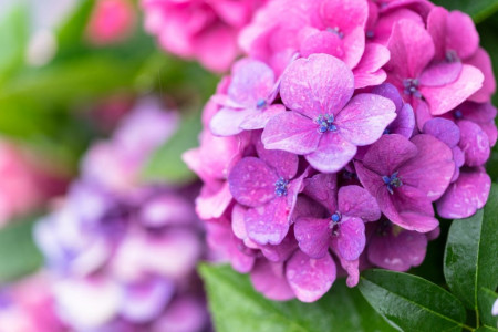 100 عکس گل ادریسی (هورتانسیا) زیبا و رویایی