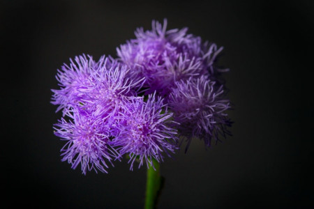 60 عکس گل ابری (Ageratum) خوشرنگ و بینظیر