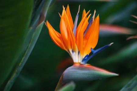 80 عکس زیبای گل استرلیتزیا (پرنده بهشتی) مناسب برای هدیه