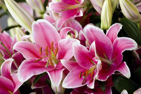 65 عکس گل لیلیوم (سوسن) زیبا و دیدنی