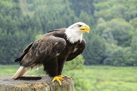 60 عکس دیدنی عقاب مظهر قدرت در آسمان ها