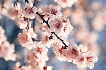 77 عکس زیبای شکوفه هلو با حال و هوای بهار