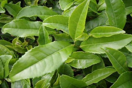 چای سبز و فواید آن