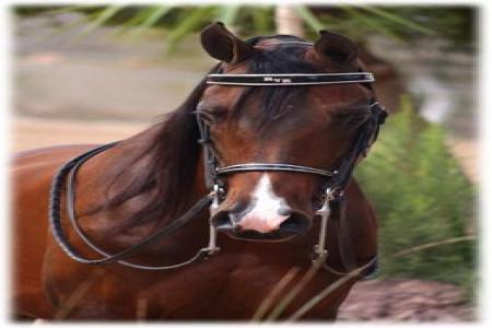 معرفی کامل نژاد اسب عرب