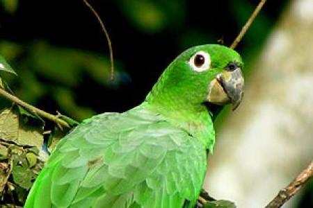 طوطی آمازون می الی-Mealy Amazon