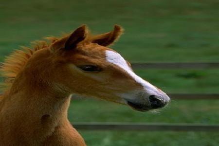 معرفی انواع نژاد اسب- اسب کوارتر