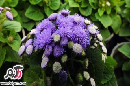 از پرورش گل ابری چه می دانید؟؟