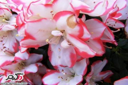 پرورش و نگهداری گل آزالیا ( گل زینتی آپارتمانی )