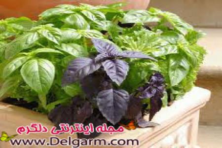 گیاه ریحان و طب سنتی آن