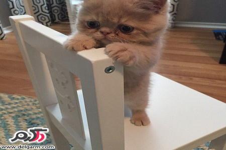 تصاویری از گربه زیبایی که شبیه به آدم است