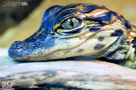 تمساح یا کروکودیل چه جور جانوری است؟به همراه تصاویر