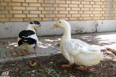 خاصیت بی نظیر گوشت و تخم اردک