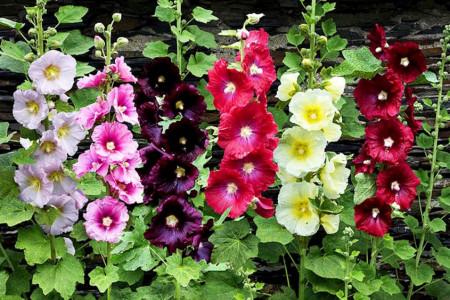 فواید بی نظیر گل ختمی که تا به حال نمی دانستید