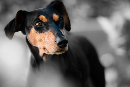 هر آنچه که در مورد چشم سگ باید بدانید!