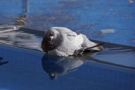 علائم و درمان گرما زدگی در کبوتر