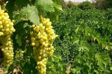 با روش کاشت درخت انگور و نگهداری از آن آشنا شوید