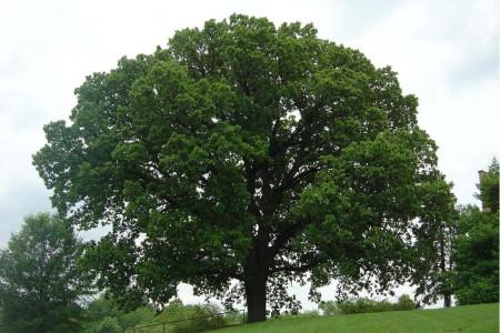 درخت بلوط و خواص میوه آن