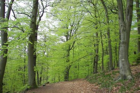 آشنایی با درخت راش و راههای تکثیر آن
