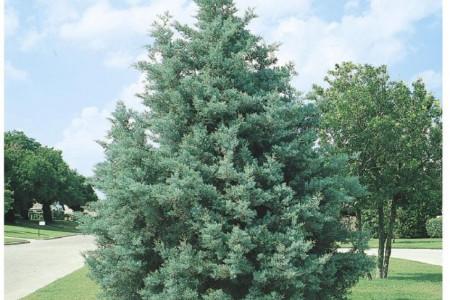 اصول کاشت و تکثیر درخت سرو نقره ای