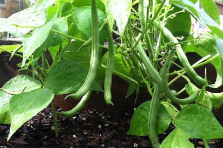 چگونه در خانه لوبیا سبز بکاریم؟