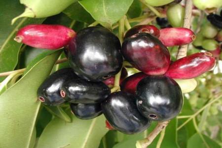 آشنایی با درخت و میوه جمبو