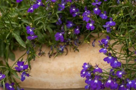معرفی و آشنایی با گیاه لبلیا (Lobelia) و خواص جادویی این گیاه