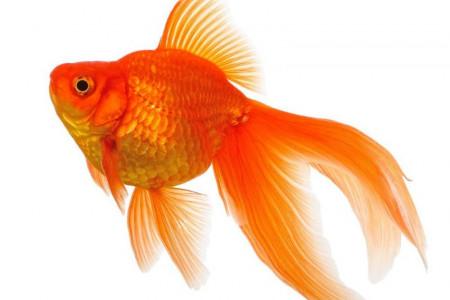 تعبیر خواب ماهی : دیدن ماهی در خواب نشانه چیست ؟